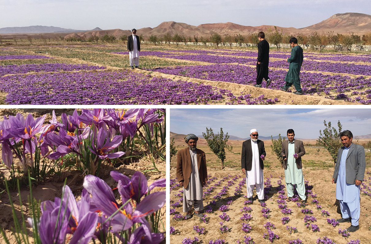 The Last Mile: Growing Peace With Saffron In Afghanistan